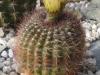 0022_notocactus_ferrugineus