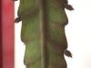0041_epiphyllum