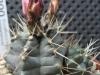 0300_echinocereus_krippelianus