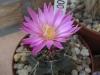 0300_echinocereus_krippelianus_2