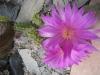 0515_echinocereus_tayopensis_2