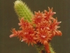 bolivicereus_samaipatanus_20061120