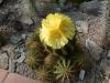 nr153notocactusmagnificus