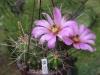 nr18echonocereussarissophorus