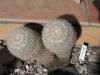 nr37mammillaria