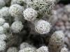 nr519mammillariagracilis