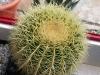 nr524echinocactusgrusonii