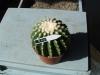nr540echinocactusgrusonii